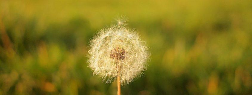 Eine Pusteblume - als Sinnbild, die Ablenkung nicht loszulassen, sondern sie zu akzeptieren.